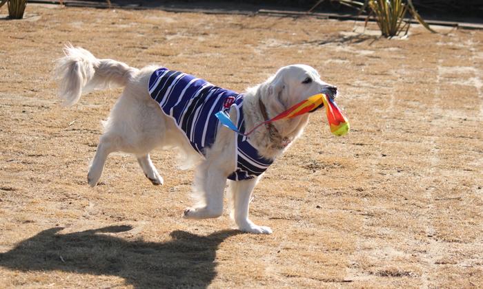 おもちゃをくわえて走っているゴールデンの写真