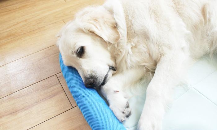 大型犬がマットに寝ている写真