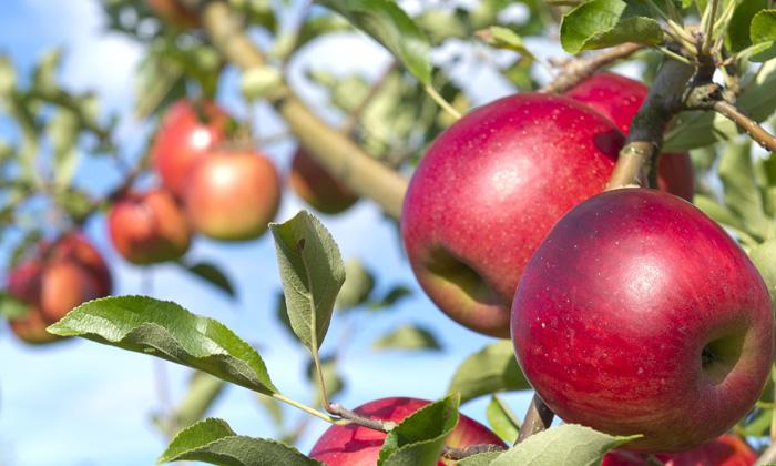 リンゴ写真