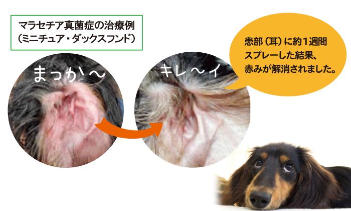 投与前と投与後のダックスの耳の比較写真