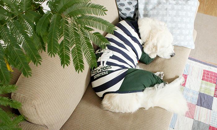 ロンパースを着てソファーで昼寝するゴールデン