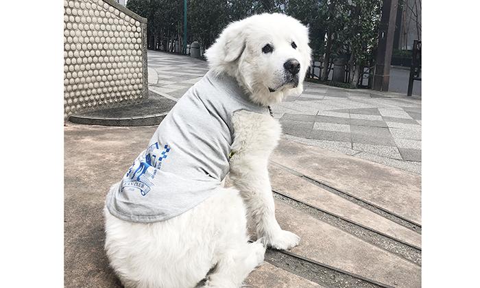 ファンクラブ犬用Tシャツを着たピレニーズ