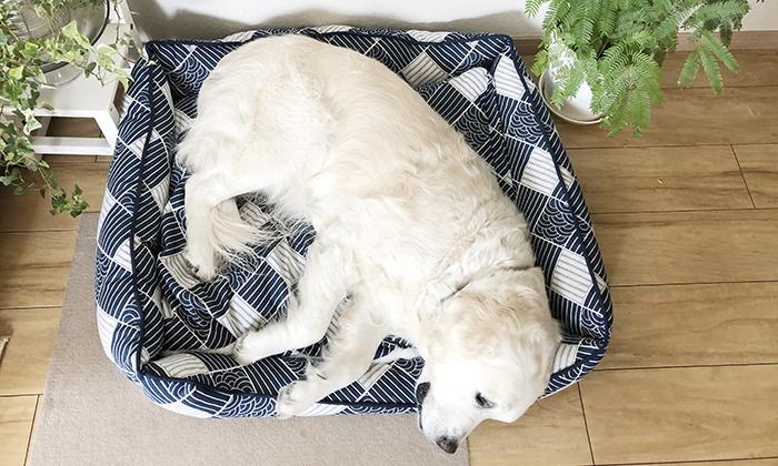 LLサイズのベッドで寝るゴールデン