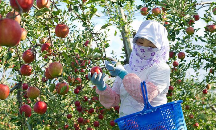 農園の方がリンゴを厳選している様子